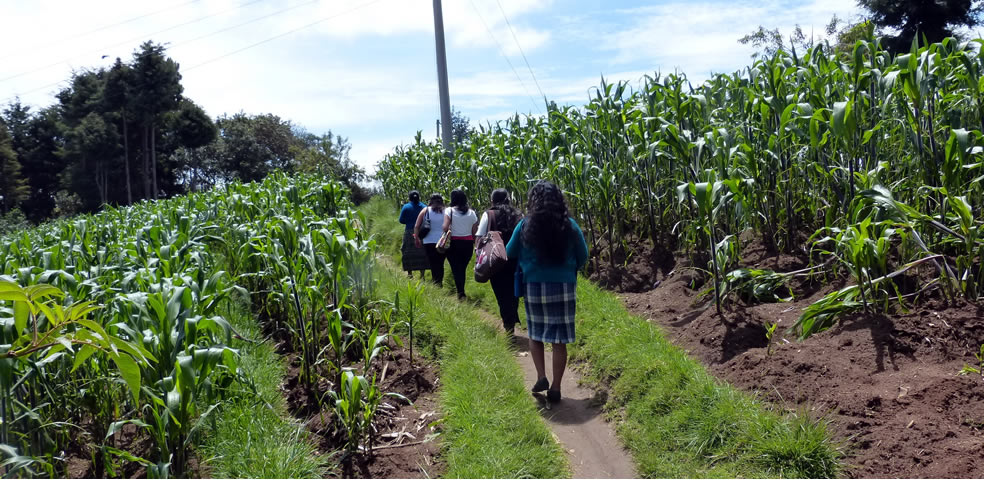 girls walk along a path through corn field
